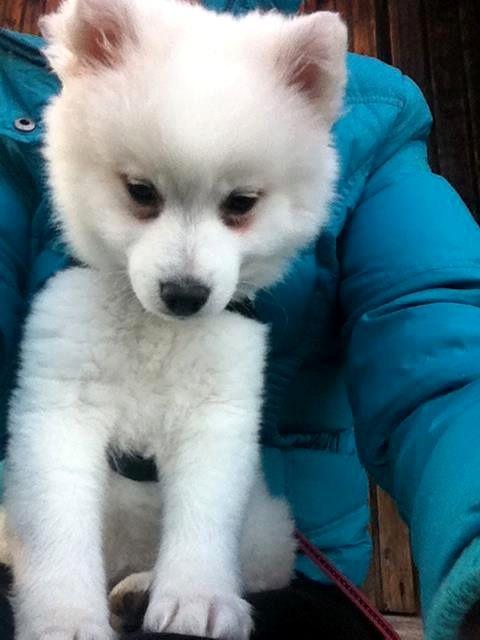 Spitz Funny Wer knuddelt mich? #Hundename: Funny / Rasse: #Spitz      Mehr Fotos: https://magazin.dogs-2-love.com/foto/spitz-funny-2/ Foto, Hund, Liebe
