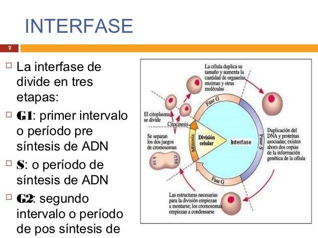 La interfase está compuesta por la fase G1 (crecimiento celular ...