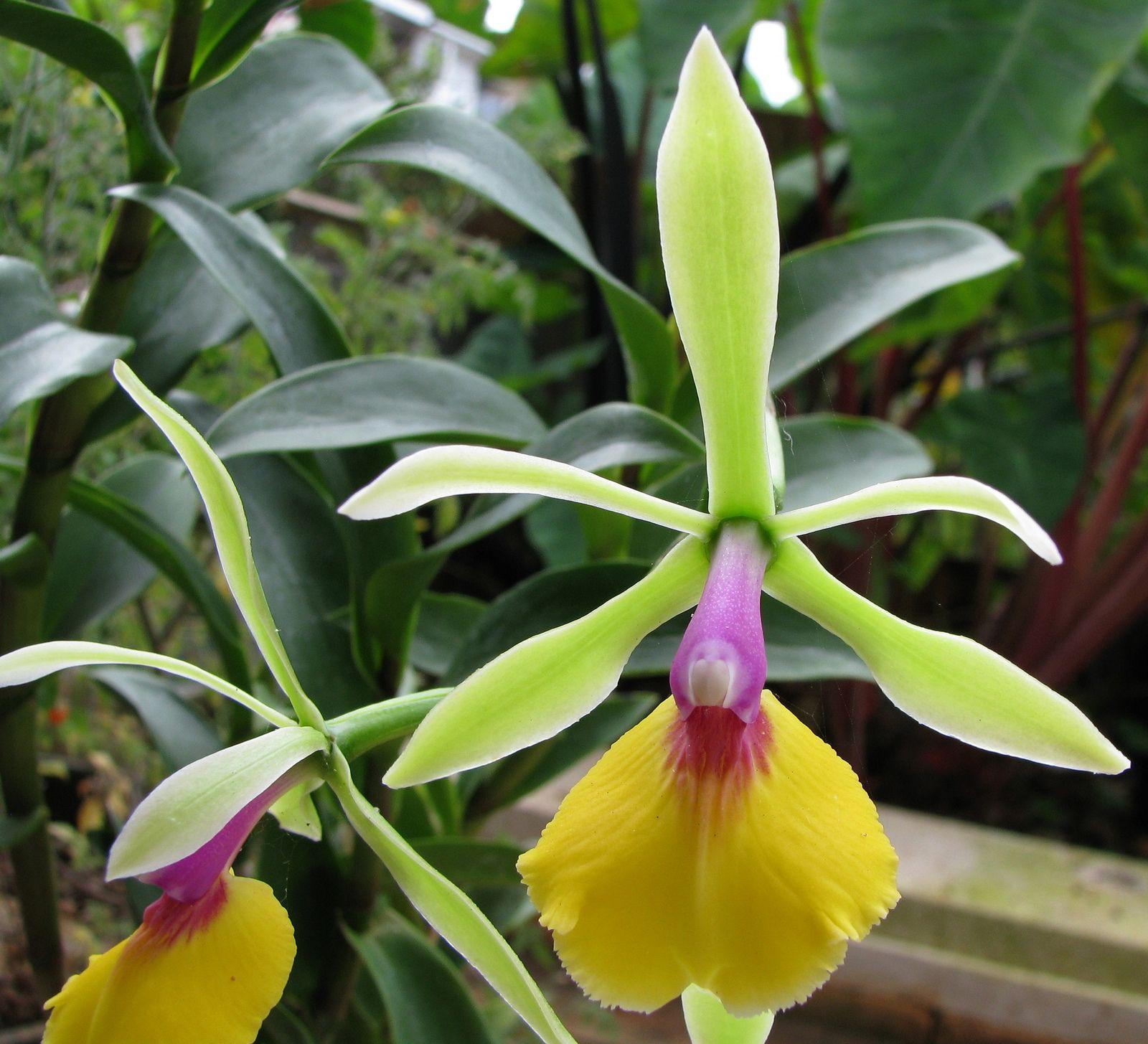 Epicattleya rene marques utyleru orchid orchidaceae and flowers