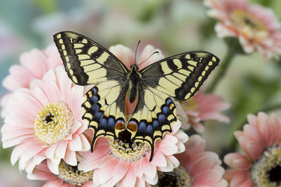 Old World Swallowtail Butterfly on Gerber Daisy