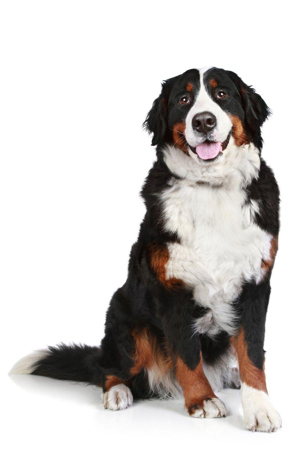 Perro San Bernardo Dog Care Dogs Mountain Dogs