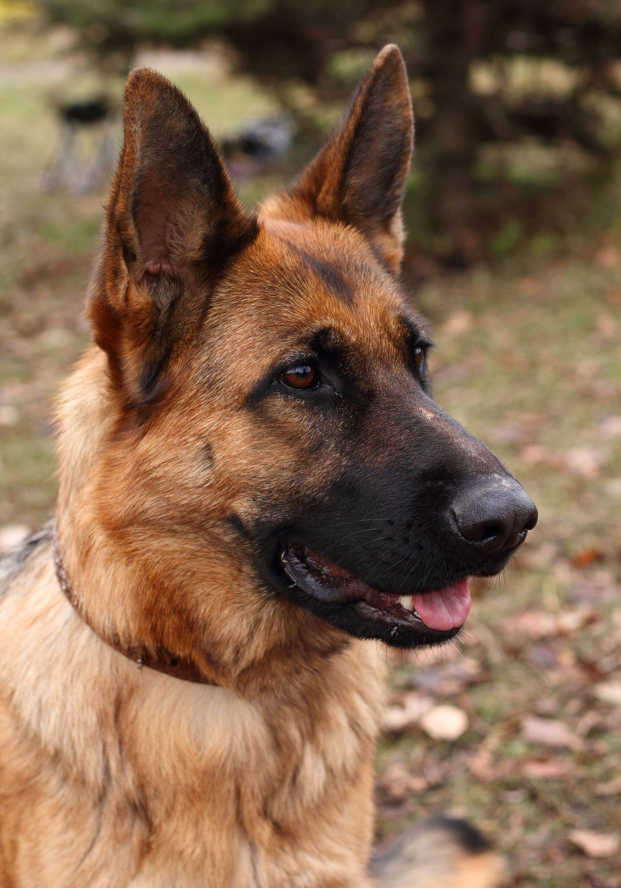 5 Reasons To Adopt A Retired Military Working Dog German