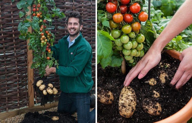 Rajčiaky aj zemiaky v jednej nádobe urodí špeciálna rastlina TomTato. Ide o kríženca, ktorý vytvára sladké cherry rajčiaky nad povrchom a zemiakové hľuzy v pôde.