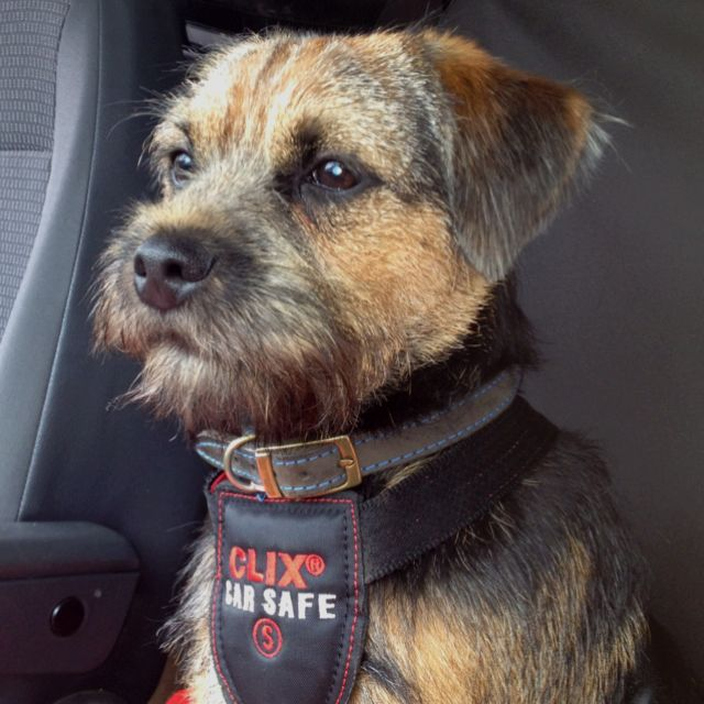 Border Terrier 6 Months Old After His First Ever Trim At The