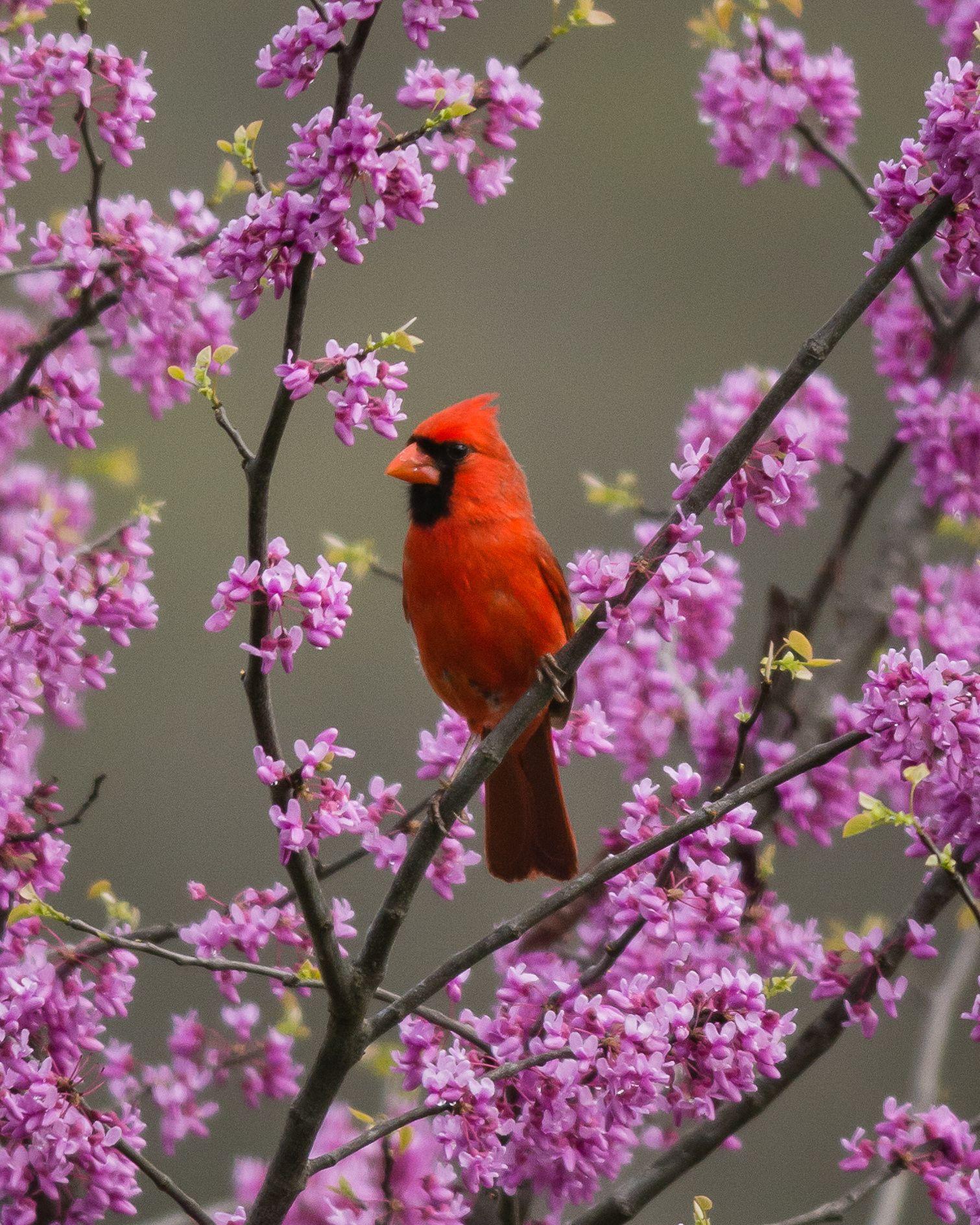 maine state bird flower and tree