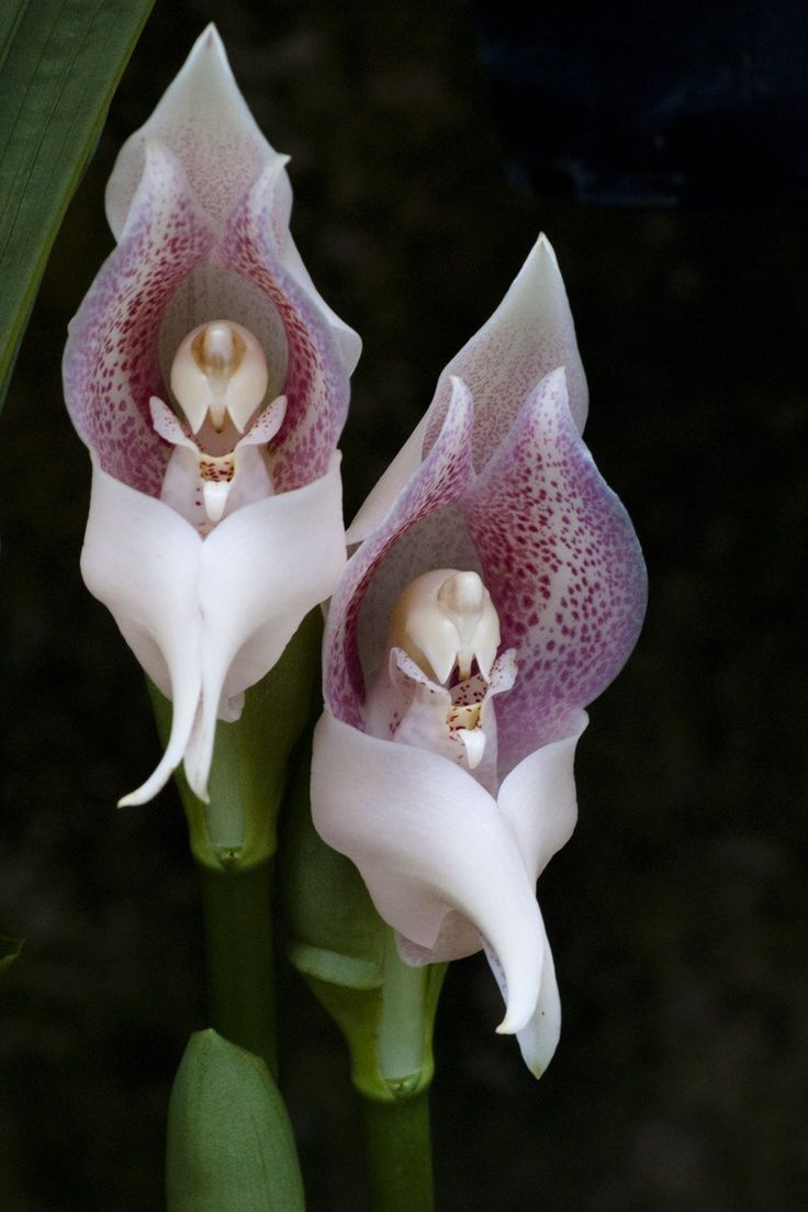 Orchid Flowers. Praying Angels, amazingly intricate internal ...