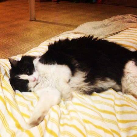 Missing Longhair Tuxedo Cat Reward Zeichnen