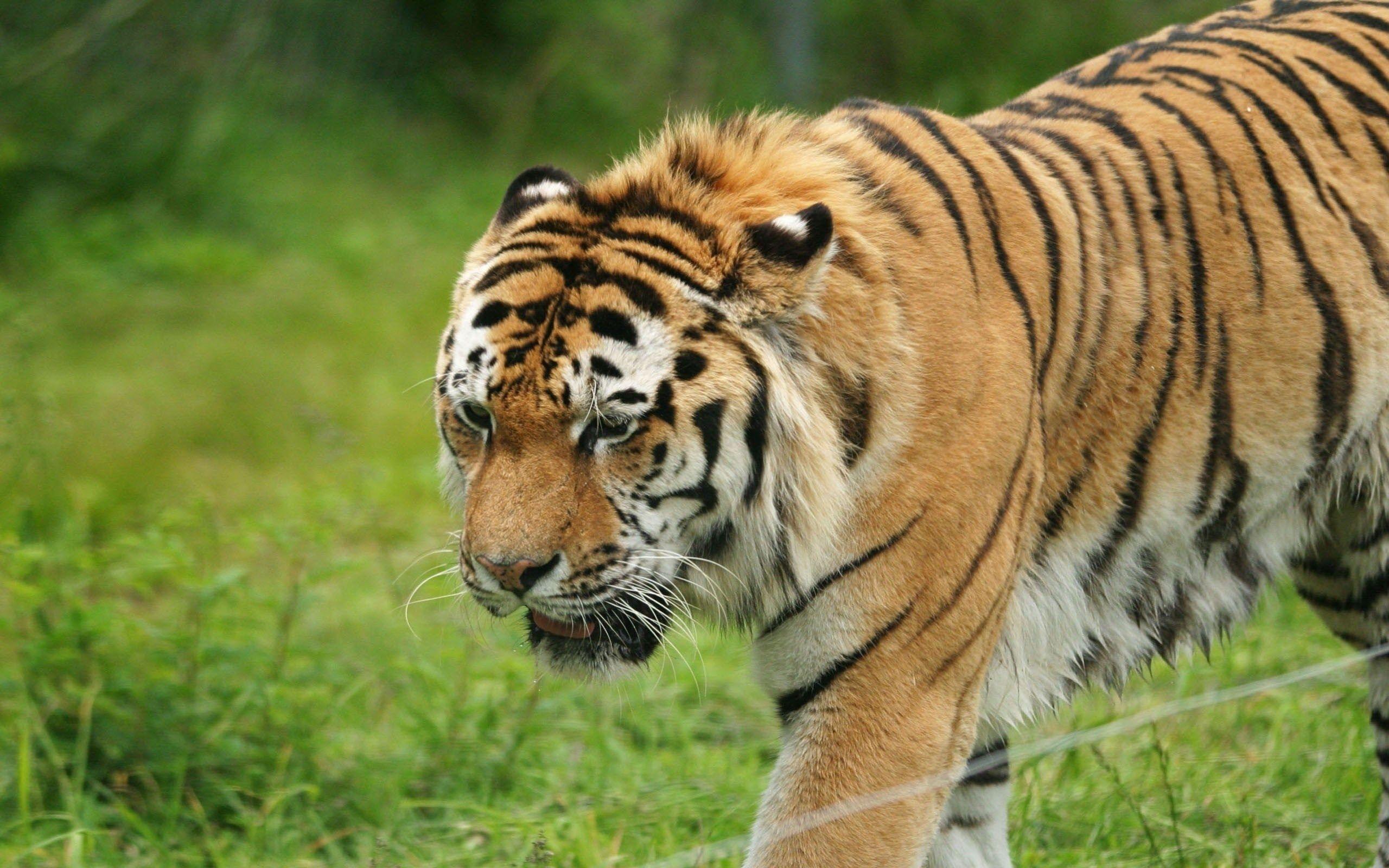 high resolution wallpaper tiger | ololoshenka | pinterest