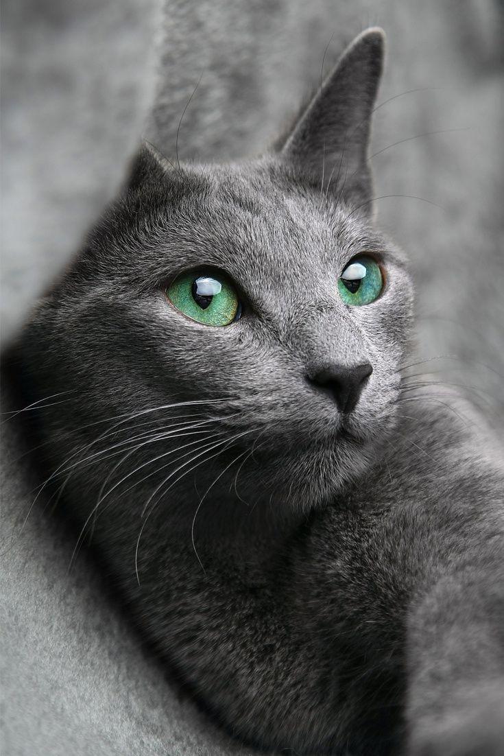 A Cute Cat With Amazing Green Eyes Cute Cat Eyes Cuteanimals Theworldisgreat Russian Blue Cat Russian Blue Blue Cats