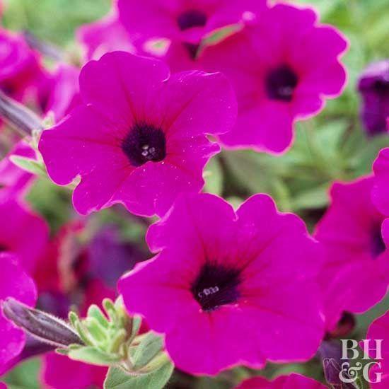 Wave Purple Petunia How To Deadhead Annuals Annual Flowers Flowers Perennials Plants
