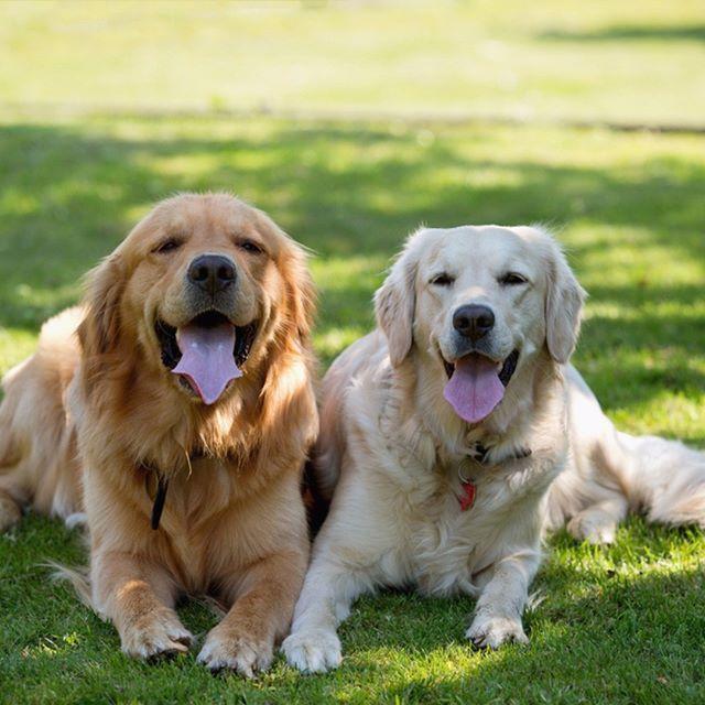 Close Up Pair Of Purebred Playful Golden Retriever Dogs Outdoors