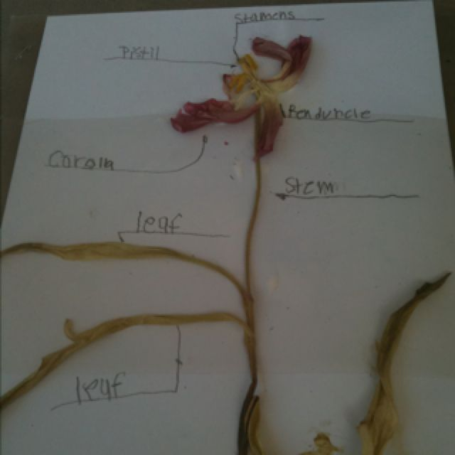Had my students use real dying tulips that  I had to label and dissect  in order to learn their parts and their job in reproduction.