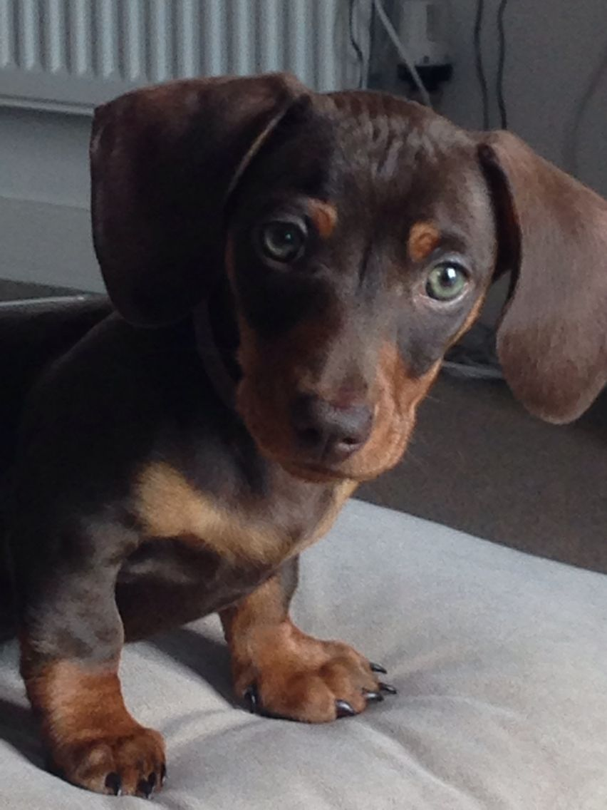 My Gorgeous Miniature Dachshund Puppy X Dachshund Puppy