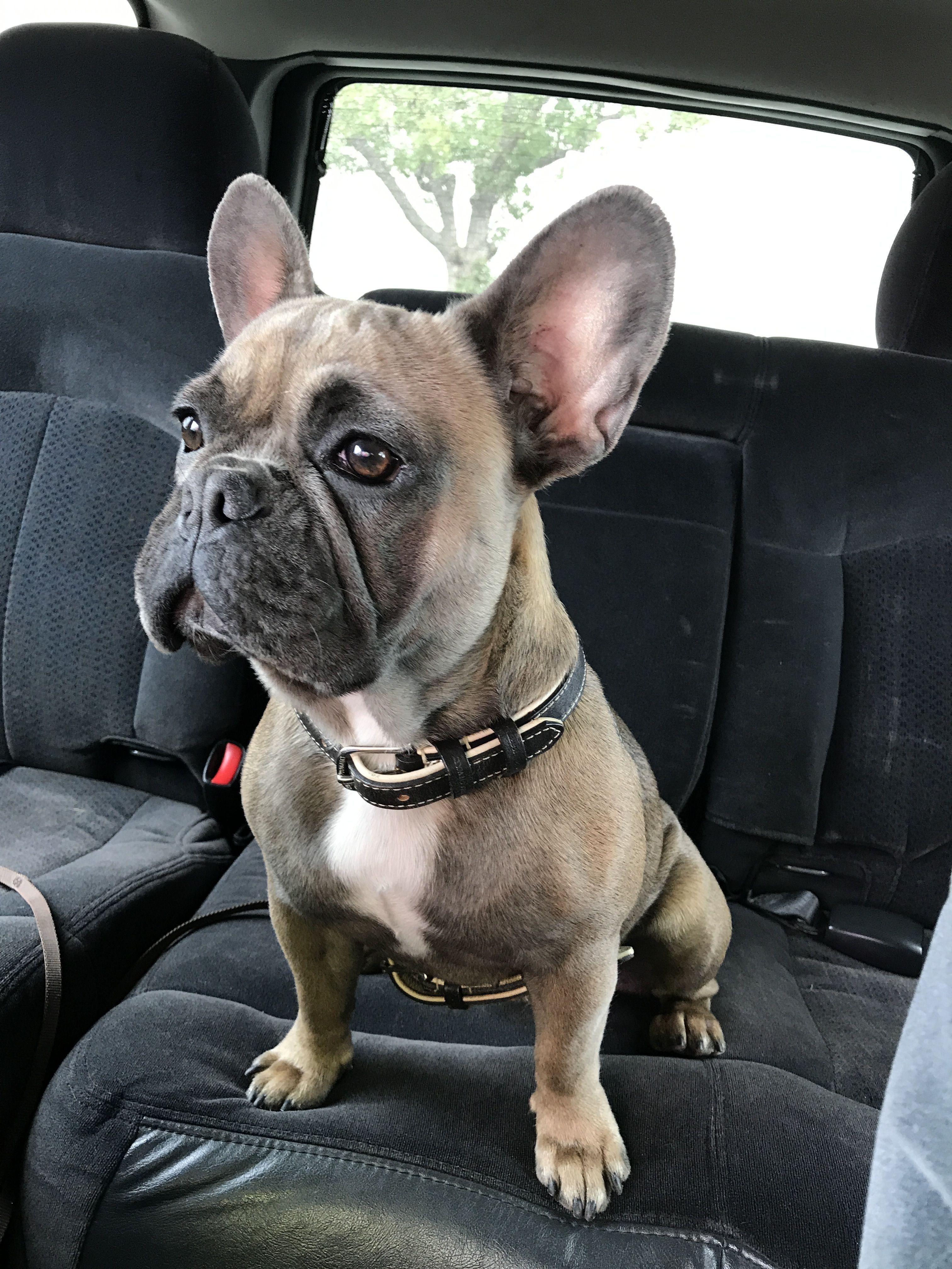 Maggie French Bulldog Buldog Cute French Bulldog French