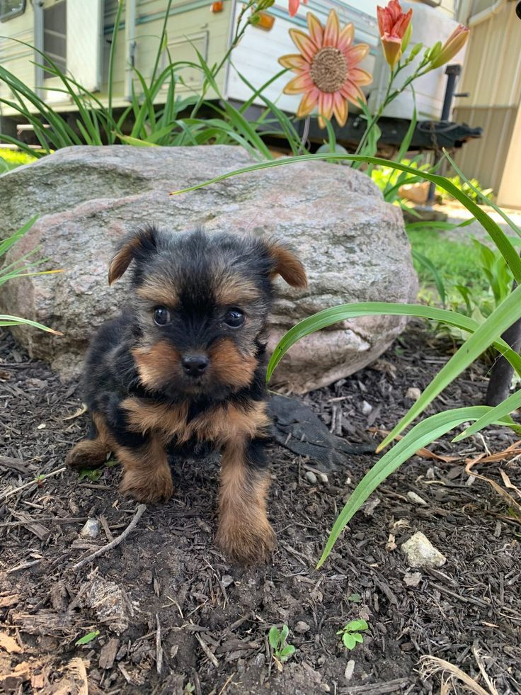 Missy AKC Yorkshire Terrier puppy for sale [Tuscola
