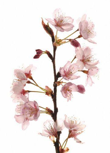 The New Staples Cherry Blossoms Cherry Blossom Edible Wild Plants Blossom