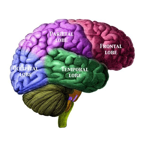Lesson plan teaching the different functions of the brain lesson plan teaching the different functions of the brain ccuart Image collections
