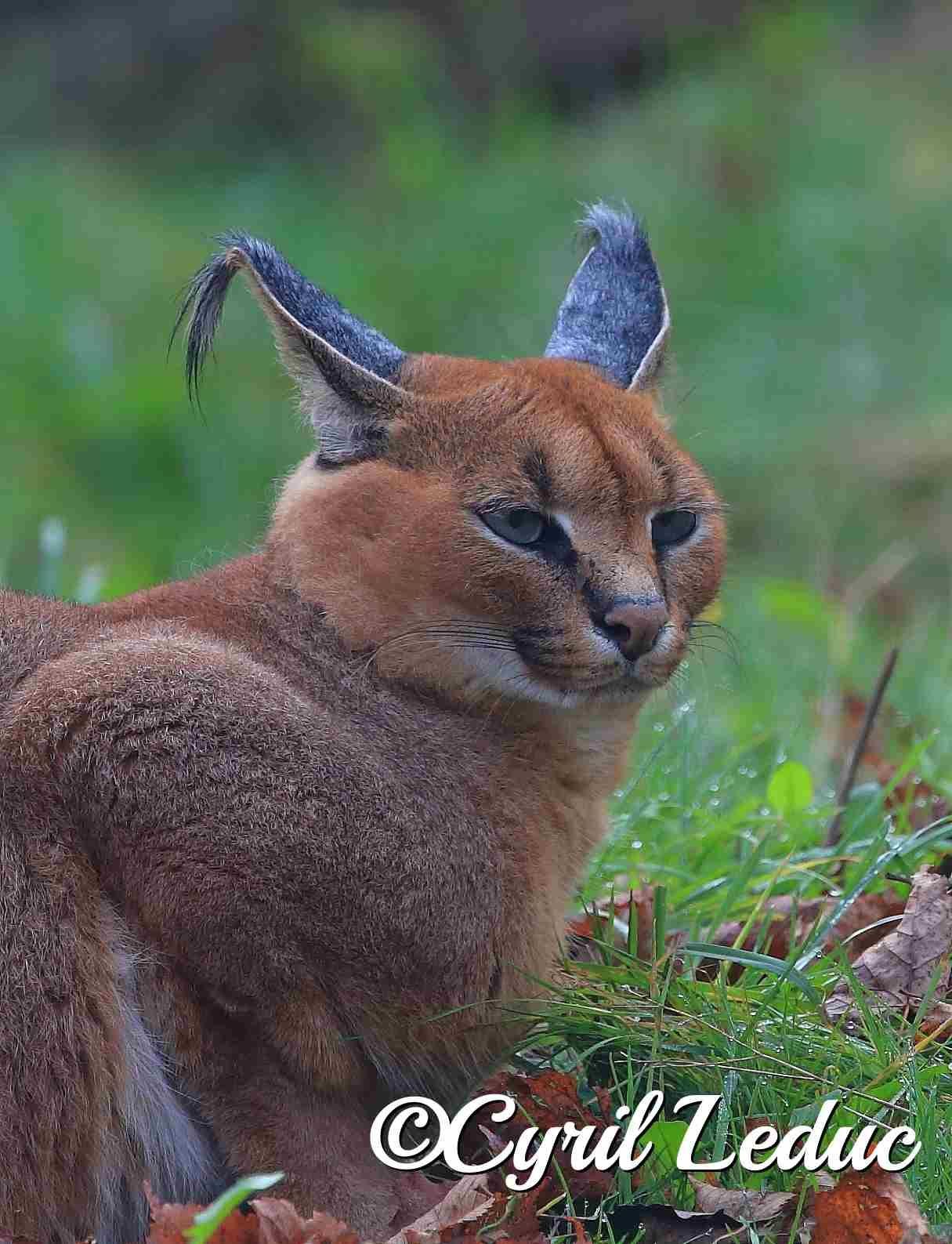 Caracal signifie oreilles noires en Turc. Il est un mammifère de la famille des félidés. Il vit dans des endroits secs, comme la savane. Comme tout félin, il est territorial et n'accepte pas d'autres félins dans son domaine, qu'il marque en urinant sur les rochers et les arbres afin d'y laisser des marques olfactives. Mais parfois, on peut le rencontrer en couple et en groupe.