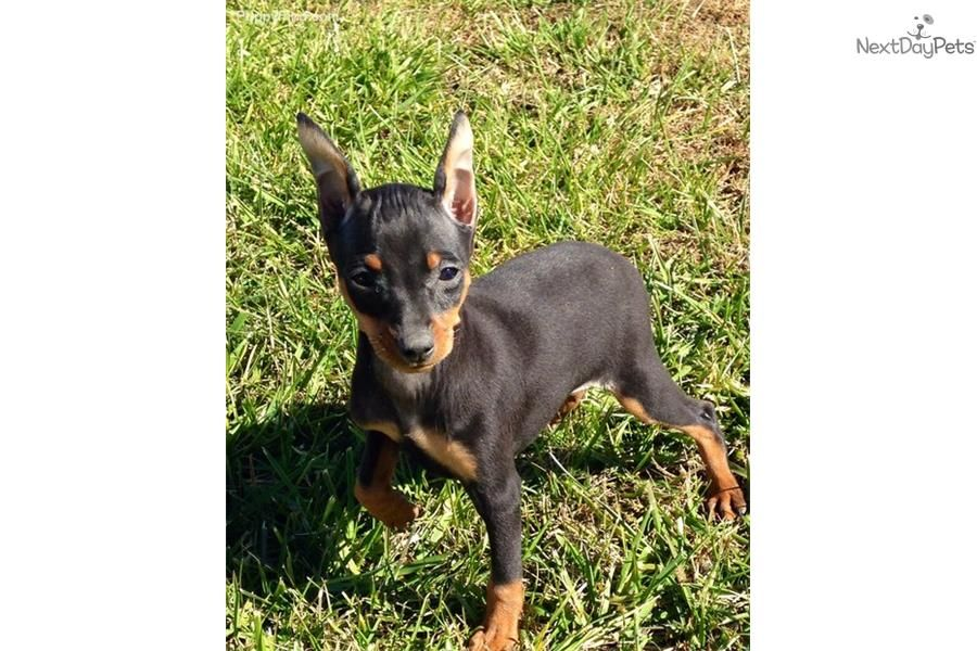 Andy Small Flight Included In The Price Miniature Pinscher