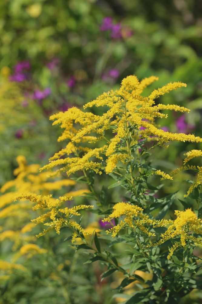 Goldenrod Benefits For Allergies Sinus Infections And Utis Herbalism Herbal Medicine Herbs For Allergies