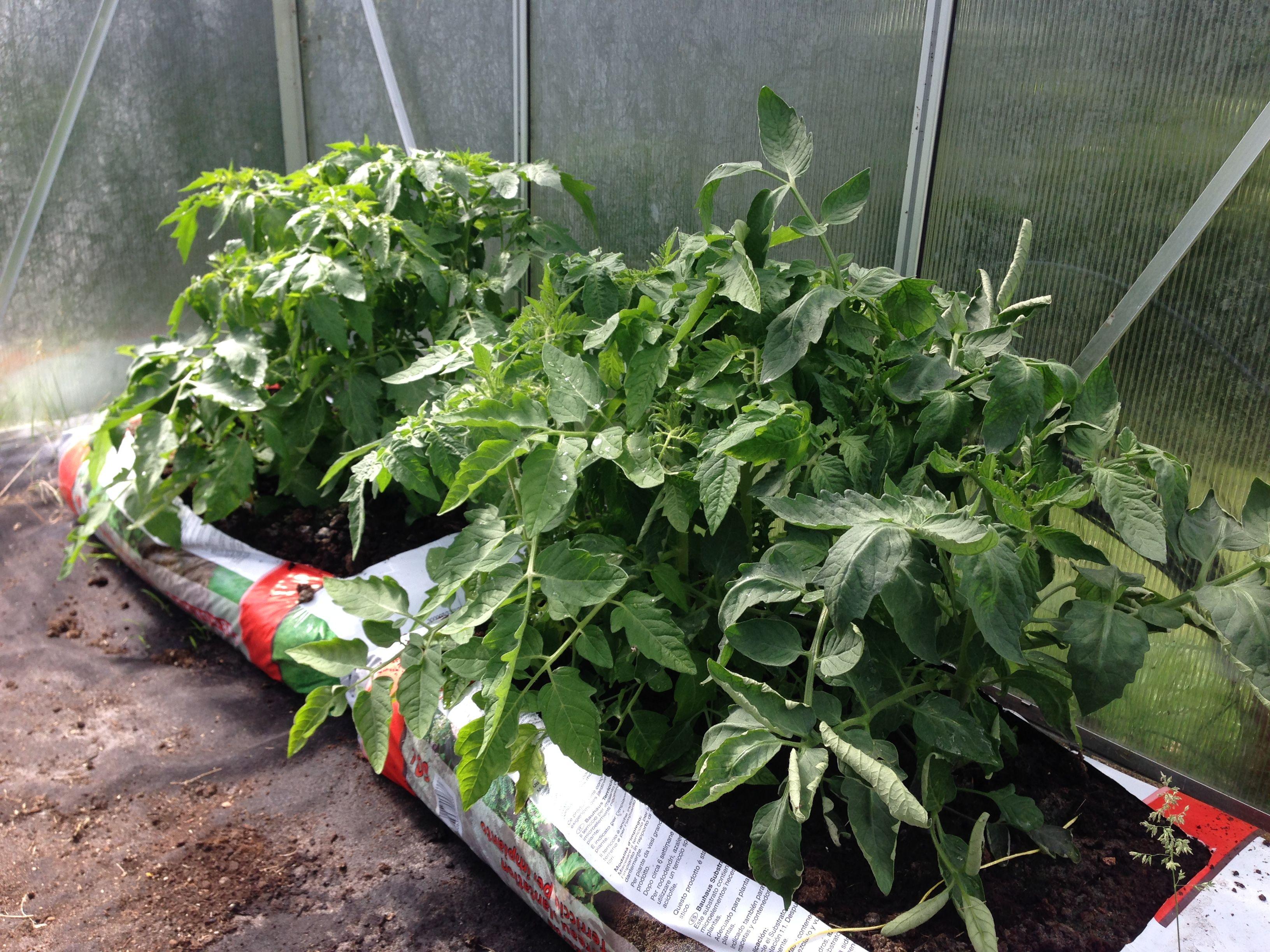 Tomate Und Gurke Im Sack Gurkenpflanze Pflanzen Gurke