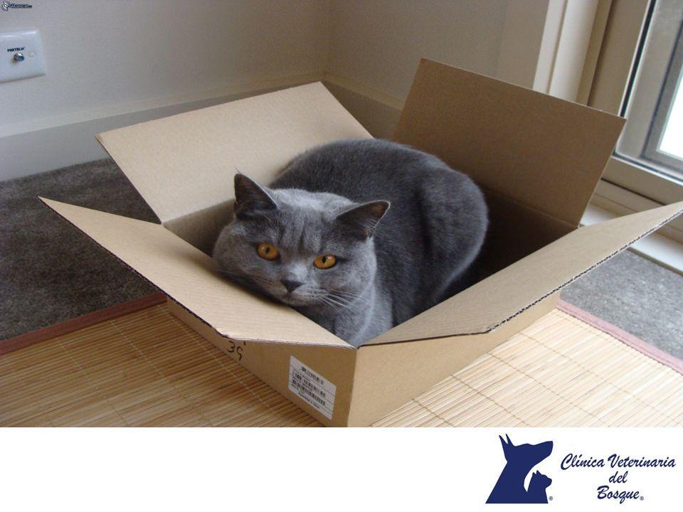 A los gatos les encantan las cajas ¿Te has preguntado por que?. LA MEJOR CLÍNICA VETERINARIA DE MÉXICO. A los gatos les encanta esconderse y poder observar lo que sucede a su alrededor, por eso, las cajas son perfectas para ellos, ya que pueden esconderse y además evitar ser atacados por lo que las convierte en el escondite perfecto. En Clínica Veterinaria del Bosque, contamos con etólogos especialistas para la atención del comportamiento de tu mascota. www.veterinariadelbosque.com
