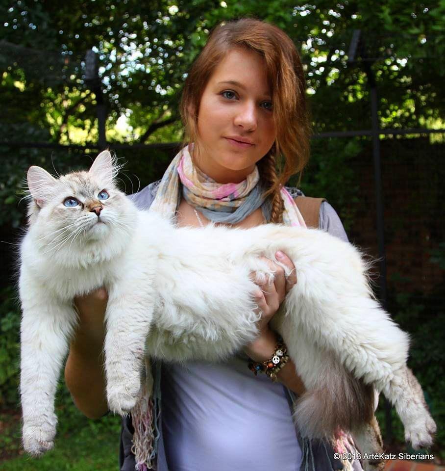 Lorenzo The Cat Lorenzothecat Twitter Siberian Cat Siberian Forest Cat Cats