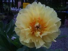 Peonies don't just come in pinks and whites! Many colors are being grown in Alaska.