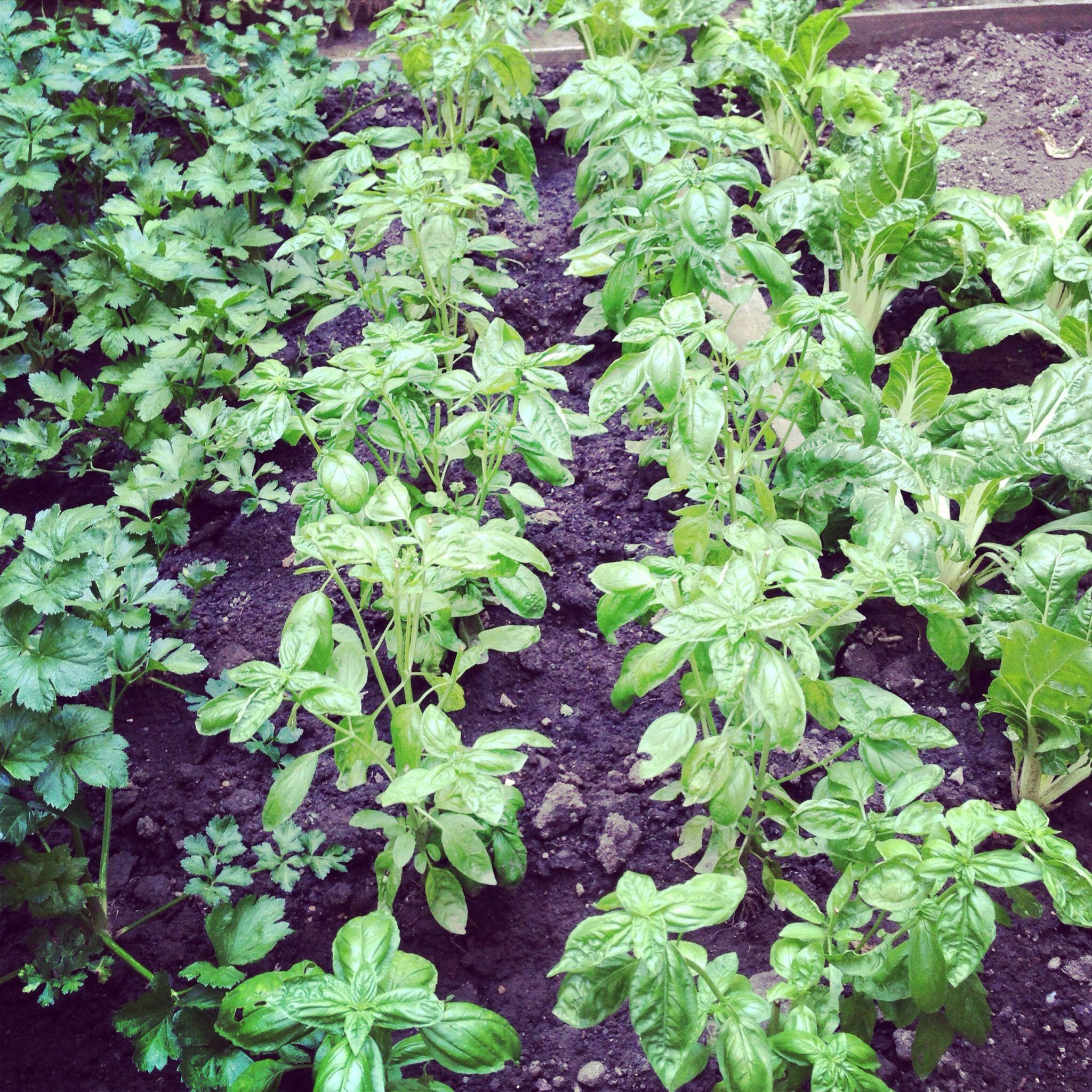 Basilico nature pinterest