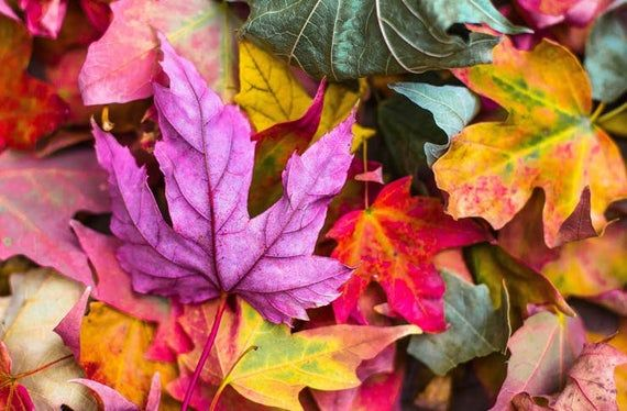 Autumn Leaves Fragrance Oil, choose your size