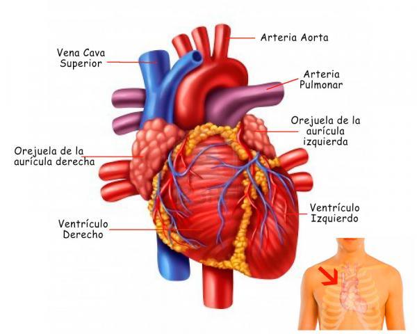 Partes Del Corazon Y Sus Funciones Resumen Con Imagenes Y Esquemas Anatomia Del Corazon Sistemas Del Cuerpo Humano Sistemas Del Cuerpo