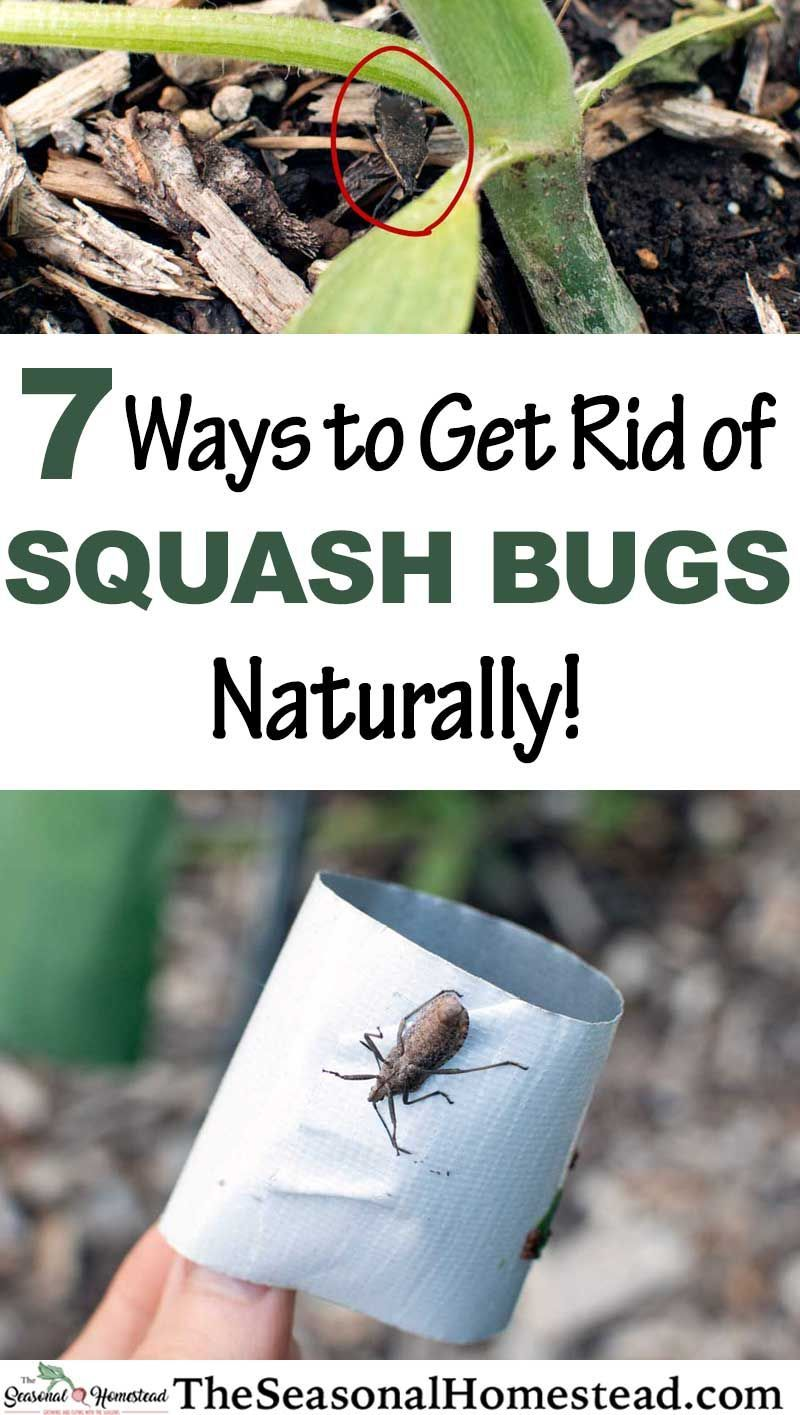 7 ways to get rid of squash bugs naturally the