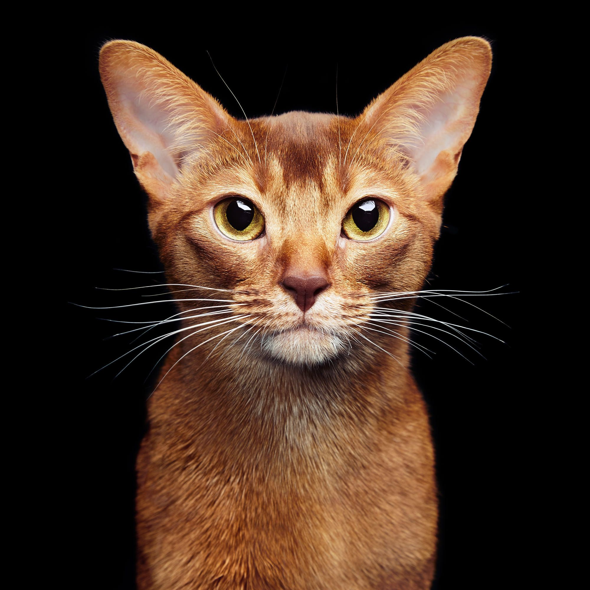 Portrait of beautiful young abyssinian cat. Close up of red cat ...
