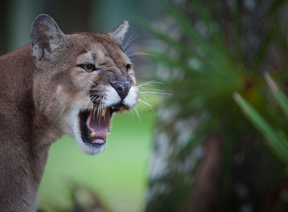 Cougars In Naples Florida