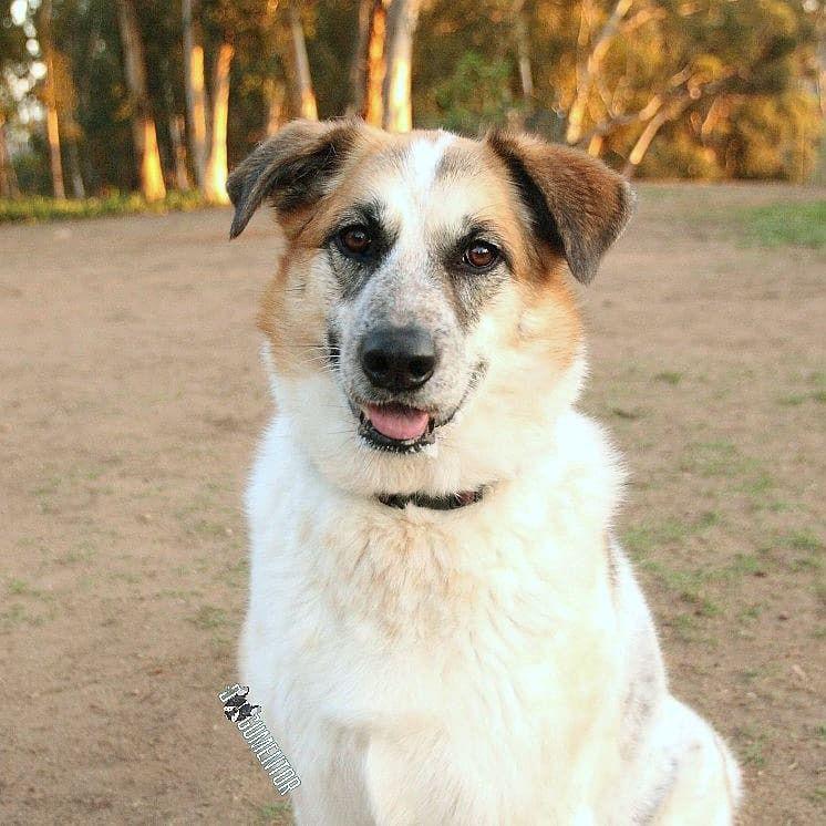 Taiya, Australian Cattle Dog Mix (4 y/o), Grape St. Dog