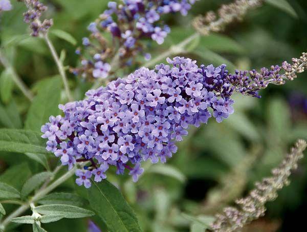 In Diesem Praxisvideo Zeigt Ihnen Mein Schoner Garten Redakteur Dieke Van Dieken Wie Man Sommerflieder Lavendel Sommerflieder Pflanzen Schmetterlingspflanzen