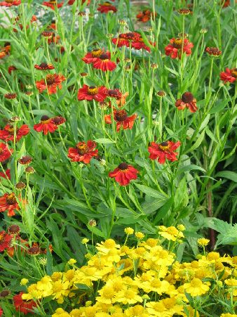 Heleniums. Wish I had a sunny garden. Mine's shady but beautiful.