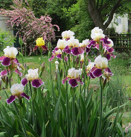 -neuer Gartentraum- Iris