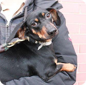 New York, NY Dachshund Mix. Meet Bob (Manhattan), a dog