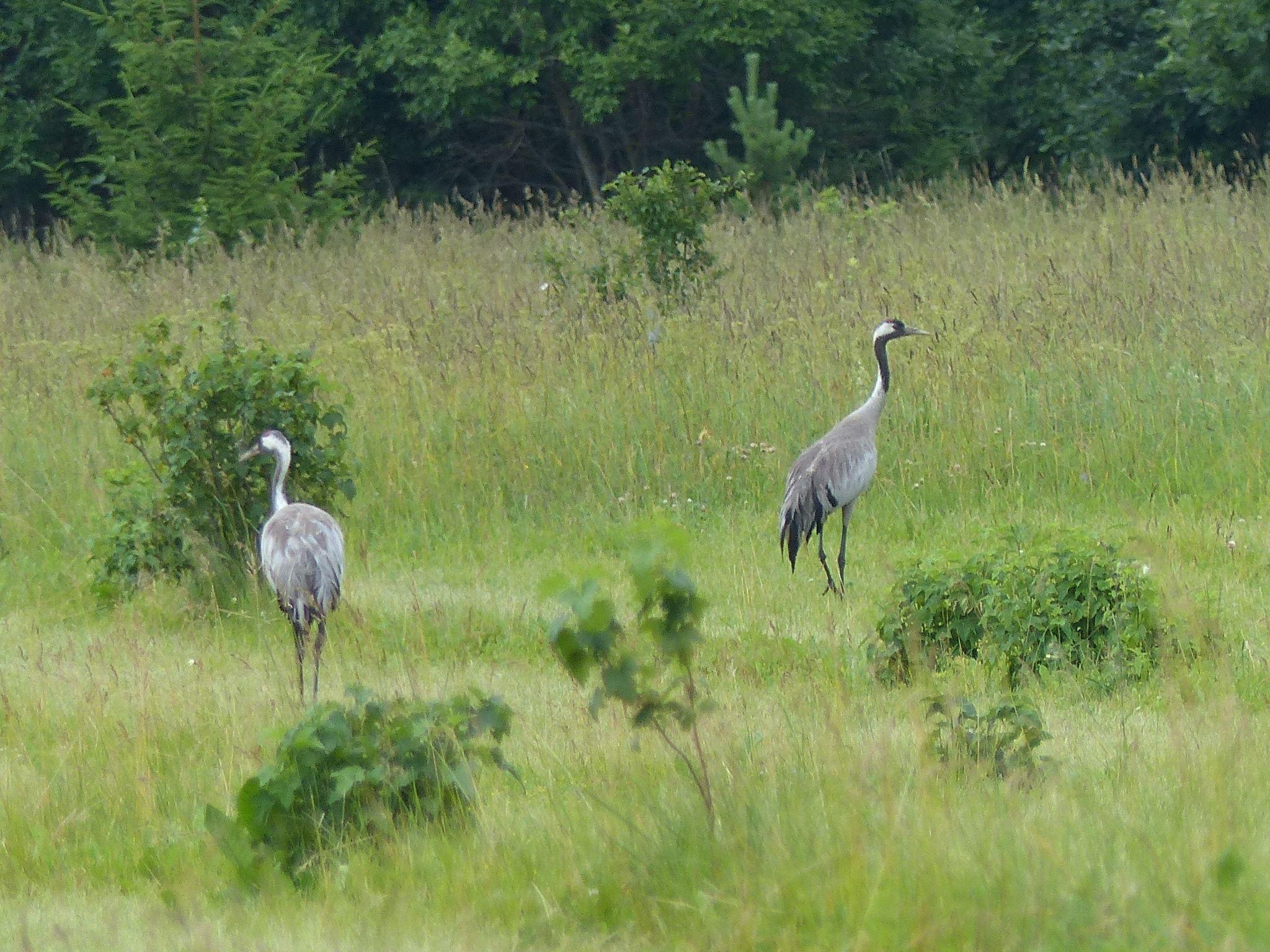 Common cranes, Rabivere Bog.