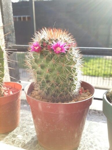 La primeras flores de cactus.. genial