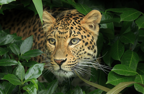 eye-of-the-cat:    Amur Leopard by Philip Harris