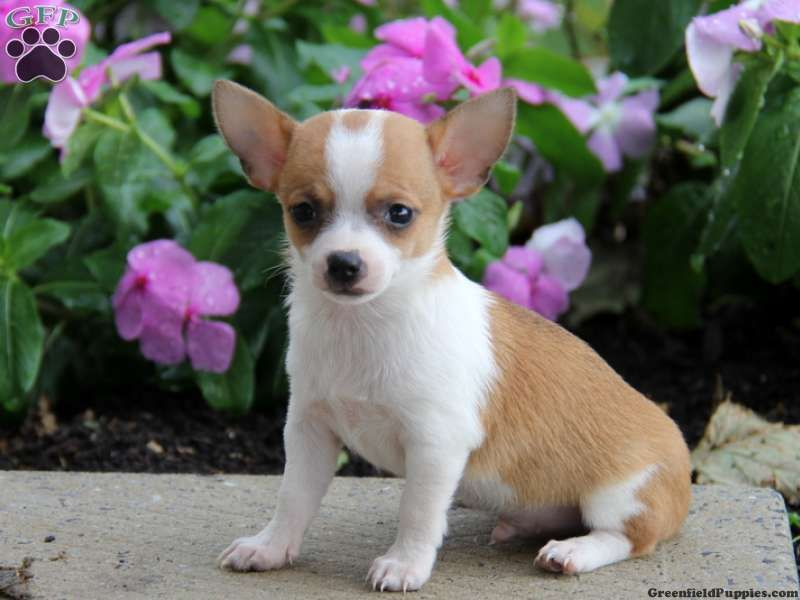 Pippin Chihuahua Puppy For Sale From Paradise Pa Chihuahua