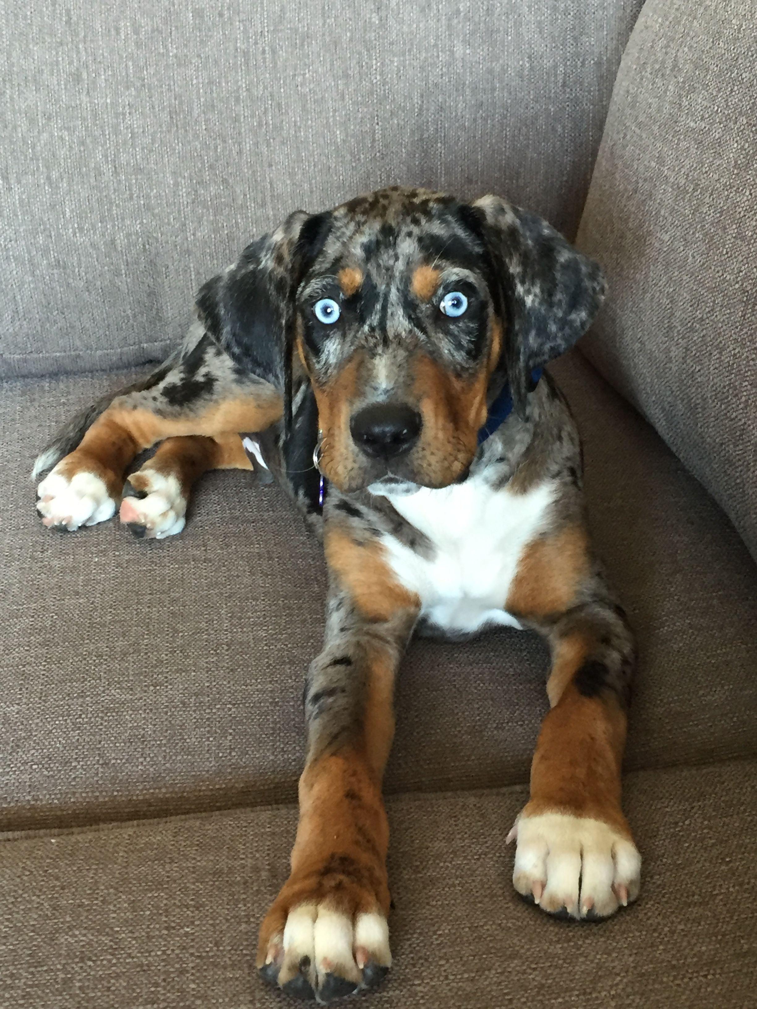 Carma S Juno Catahoula Leopard Dog 12 Weeks Instagram