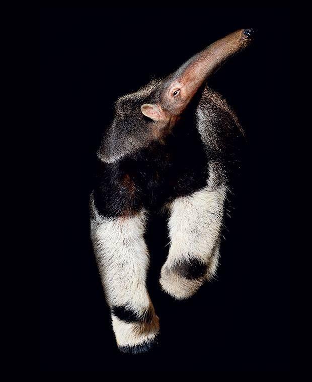 Os tamanduás se alimentam de formigas e cupins jogando a língua para dentro dos formigueiros e cupinzeiros. Um animal grande como o tamanduá-bandeira precisa comer bastante destes insetos, por isto a língua dele não para. Eles são capazes de projetar a língua a uma velocidade de 160 vezes por minuto.Prof.Jubilut