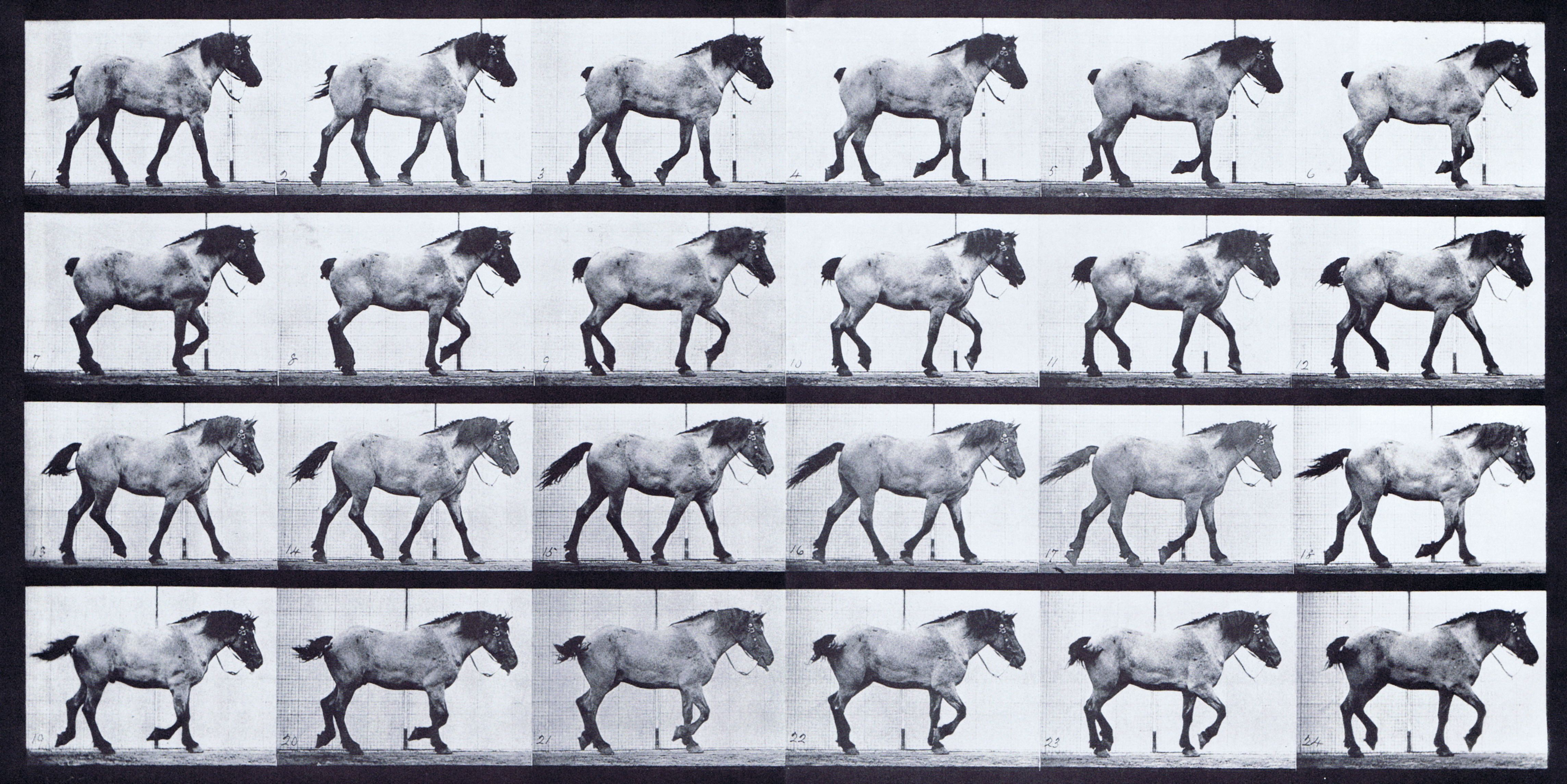 hight resolution of large profile view of horse walking free animation reference using muybridge plate 574 from animal locomotion