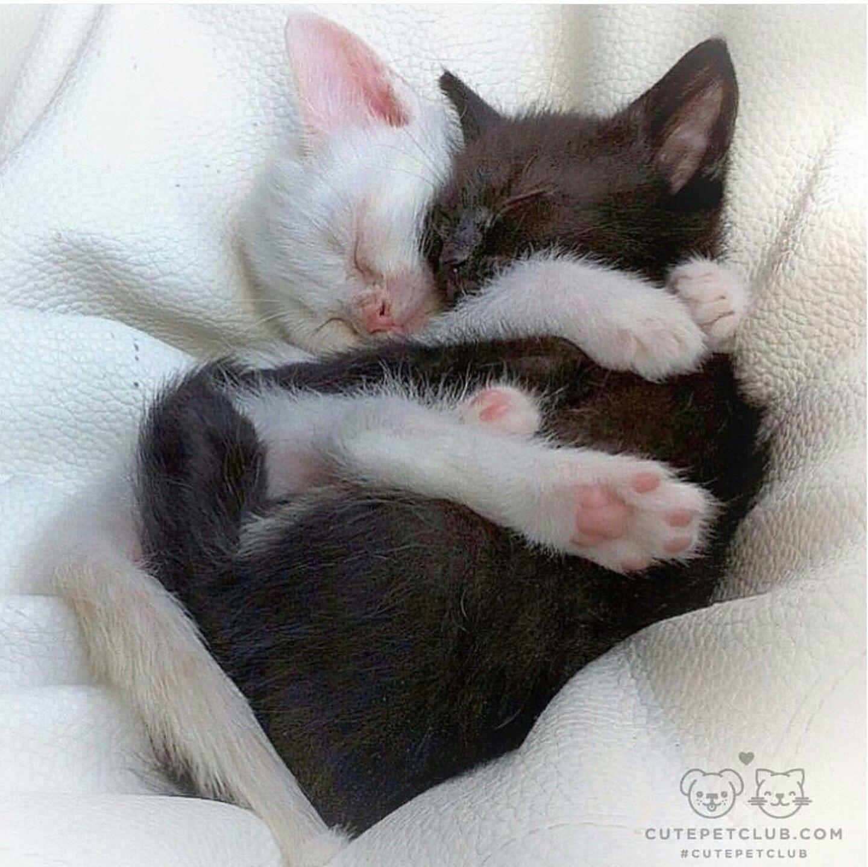 Snuggle Buddy S Cute Snuggle Cutecat Cutekitty Pretty Cats Cute Baby Animals Cute Cats And Kittens