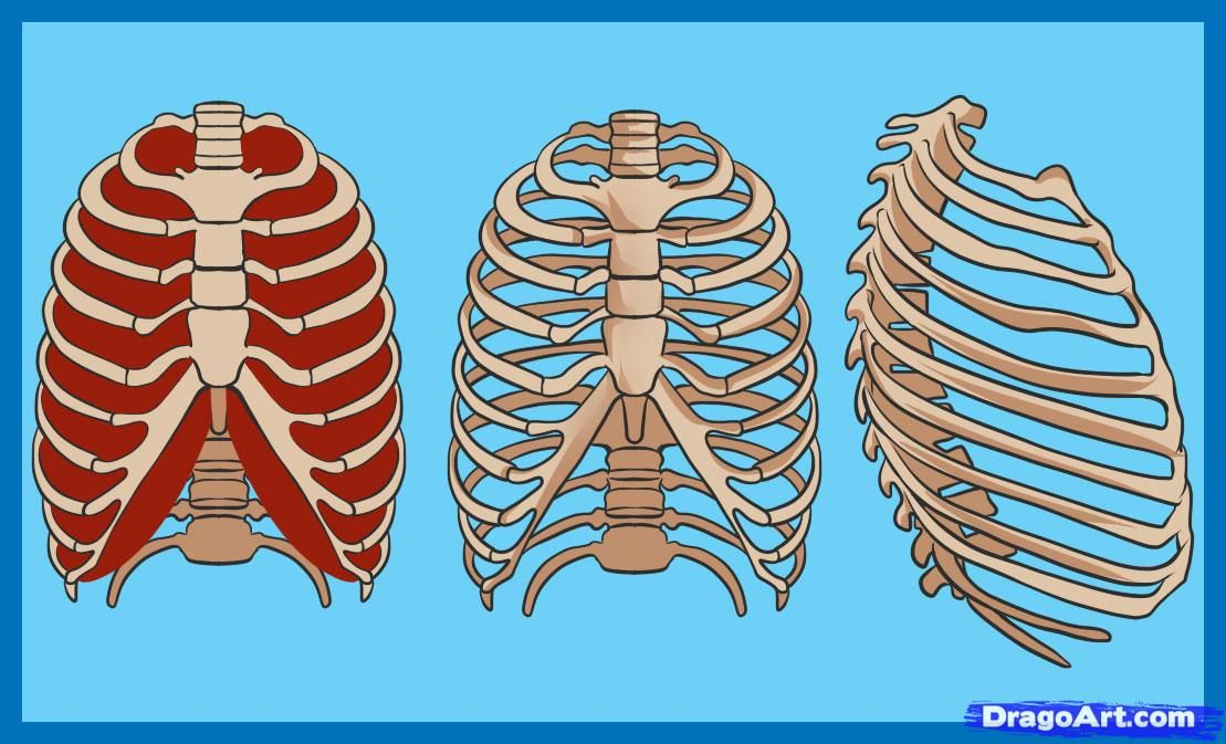 How To Draw A Rib Cage Step By Step Anatomy People Free Online