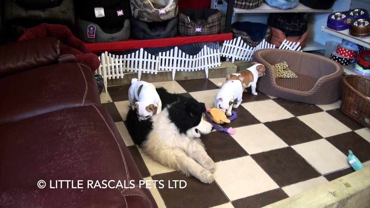 English Cocker Spaniel Puppies For Sale In Ga Ideas