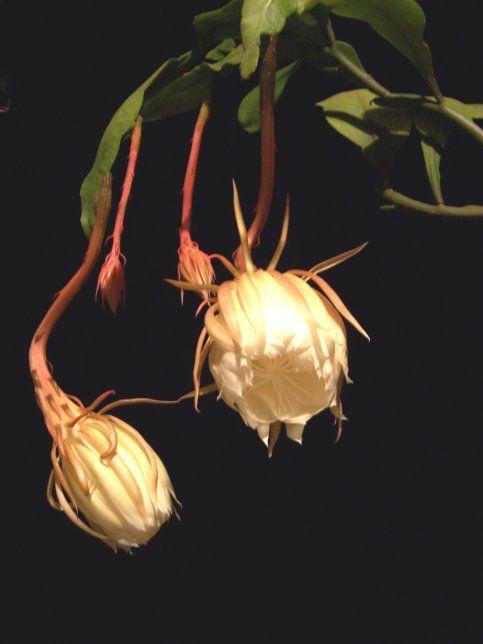 Epiphyllum1 Jpg 483 644 Night Blooming Flowers Night Flowers Beautiful Flowers,Baby Closet Organizers Ideas